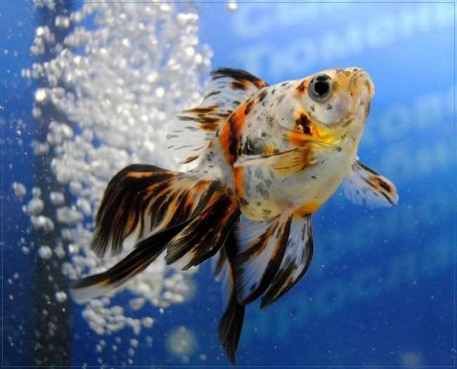 Разновидность рыбки петушка - вуалехвост