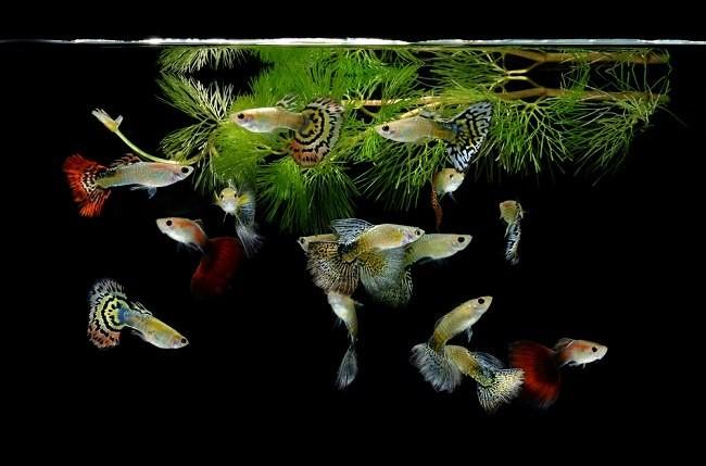 Красочные самцы рыбок гуппи