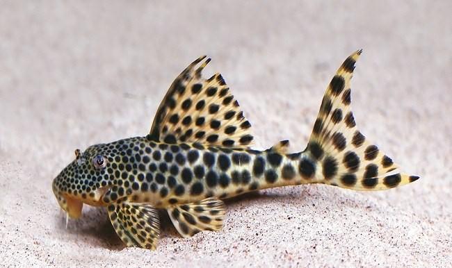 Какие аквариумные рыбки размножаются икрой