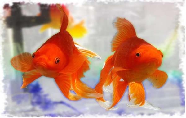 разведение золотых рыбок
