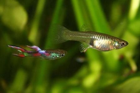 самка и самец гуппи эндлера в аквариуме