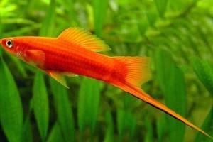 аквариумные рыбки меченосцы