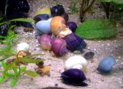 Как размножаются улитки в аквариуме