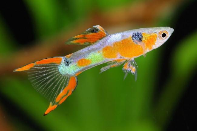 Рыбка гуппи для начинающих.