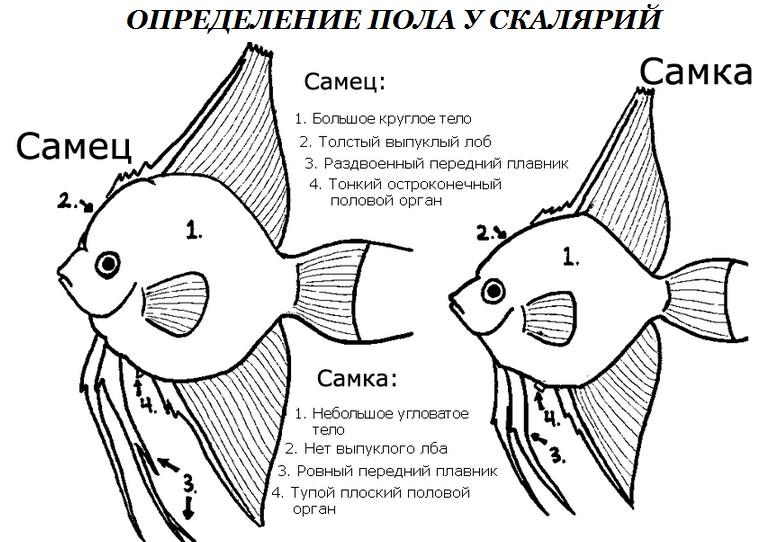 скалярии размножение