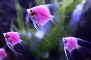 скалярии размножение в домашних условиях