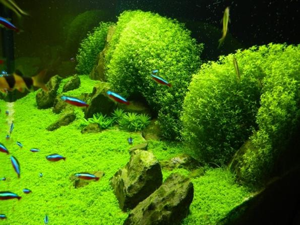 хемиантус куба в аквариуме