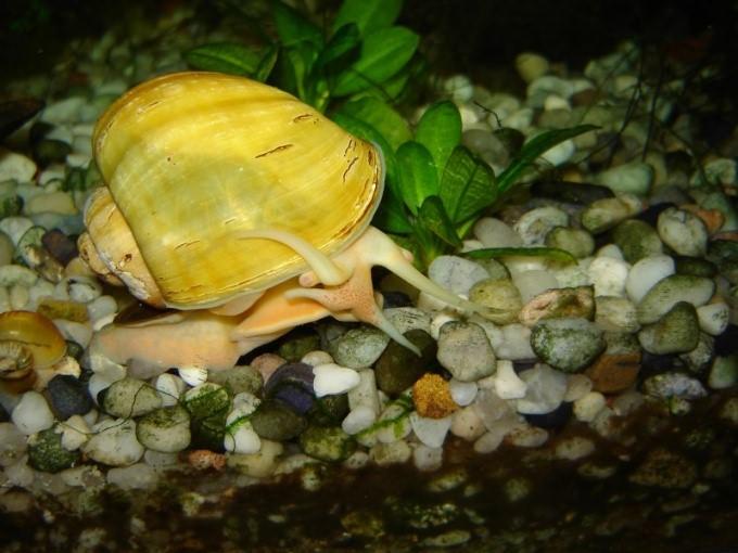 кормление аквариумных улиток