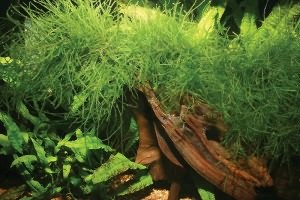 неприхотливые аквариумные растения