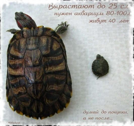 красноухие черепахи выростают