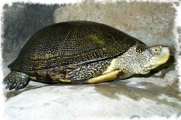 болотная черепаха красиво