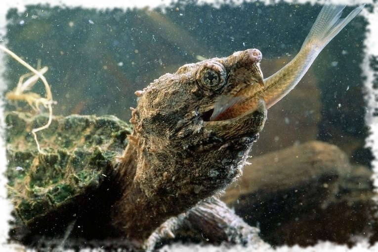 черепаха ест рыбу