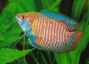 Самые неприхотливые аквариумные рыбки10