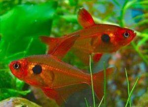 Самые неприхотливые аквариумные рыбки11