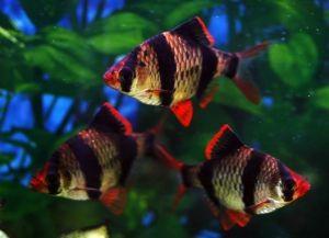барбусы совместимость с другими рыбами 1