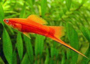 Самые неприхотливые аквариумные рыбки3