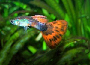 Самые неприхотливые аквариумные рыбки5