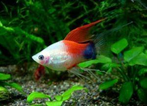 Самые неприхотливые аквариумные рыбки6