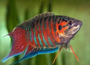 Самые неприхотливые аквариумные рыбки7