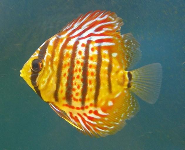 Одна из красивейших рыб - дискус