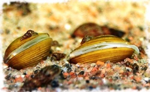 улитка корбикула