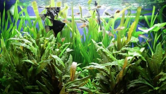 Скалярии в общем аквариуме.