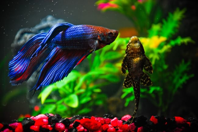 Совместимость рыбок петушков в общем аквариуме.