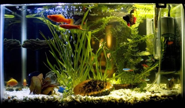 Совместимость рыбок петушков с другими рыбками.