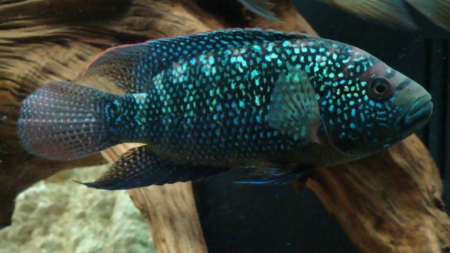Рыба Джек Демпси.