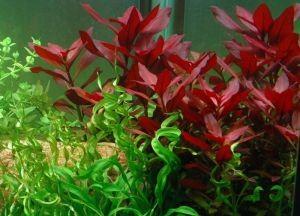 водоросли в аквариуме1