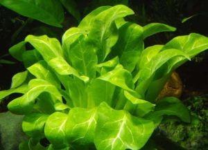 водоросли в аквариуме2