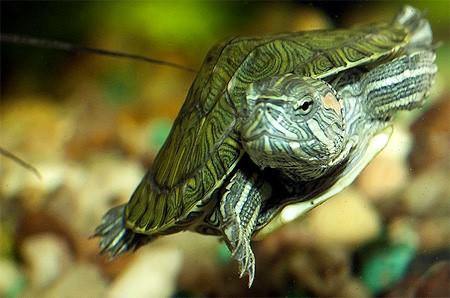 аквариумная черепашка