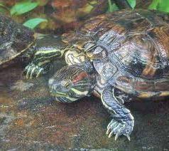Акватеррариум для красноухой черепахи