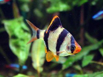 Каких рыбок завести начинающему аквариумисту3