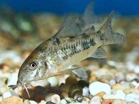 Каких рыбок завести начинающему аквариумисту4