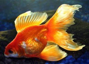 Золотая аквариумная рыбка1