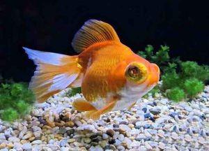 Золотая аквариумная рыбка2