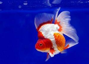 Золотая аквариумная рыбка3