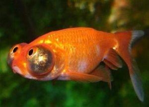 Золотая аквариумная рыбка4