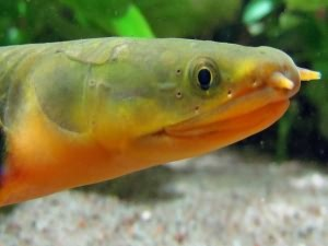 Каламоихты содержание в аквариуме