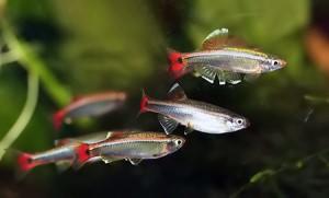 рыбка кардинал - стая