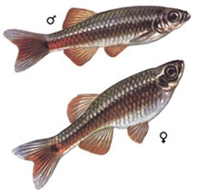 рыбка кардинал самец и самка