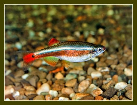 Кардинал рыбка: содержание, совместимость, фото-видео обзор