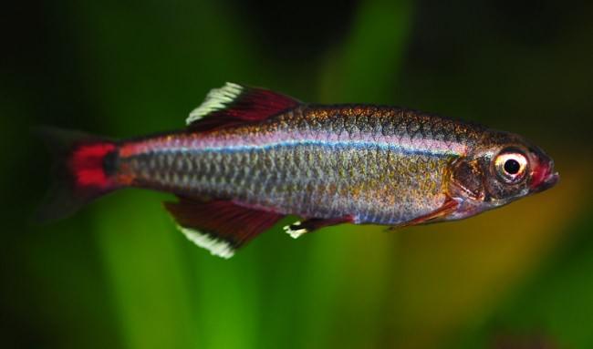 Рыбка семейства карповые.