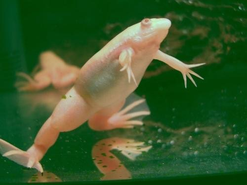 белая лягушка