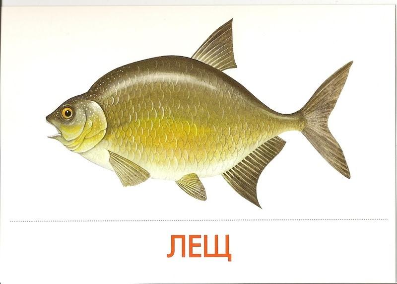 Рыбка картинка для детей  prorybokru