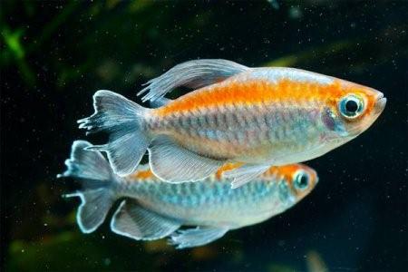 Конго аквариумная рыбка: содержание, совместимость, фото-видео обзор