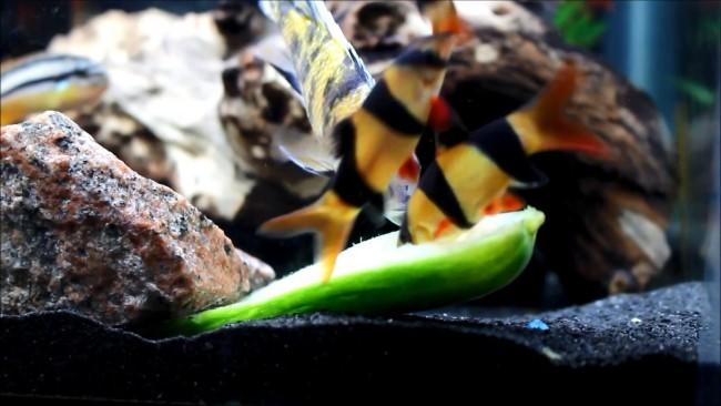 Боции едят огурец.