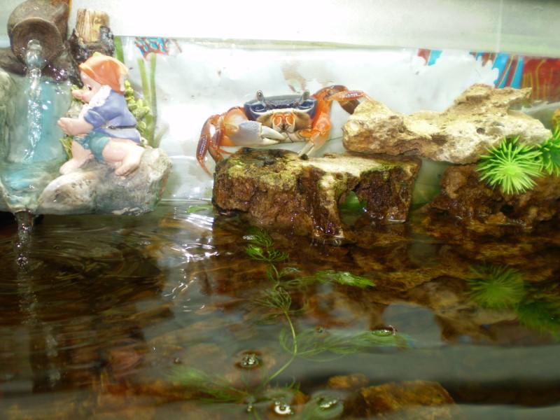 краб в аквариуме