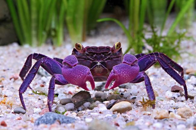 Vampire crab.